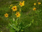 Arnica (Arnica montana)